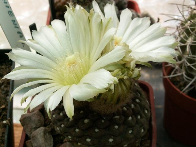 Eriosyce napina (= Neochilenia napina) Pict0024