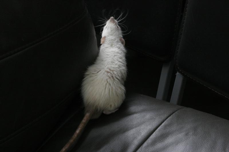 Les Rats Geures de Sam et Sabelette - Page 7 _mg_3111
