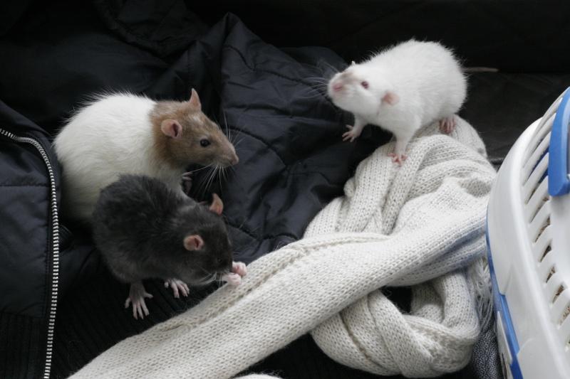 Les Rats Geures de Sam et Sabelette - Page 7 _mg_3112
