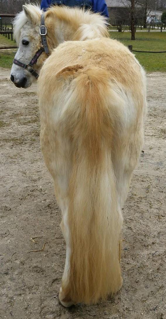 APACHE - ONC poney typé Shetland né en 1997- adopté en juillet 2015 par Claire Apache22