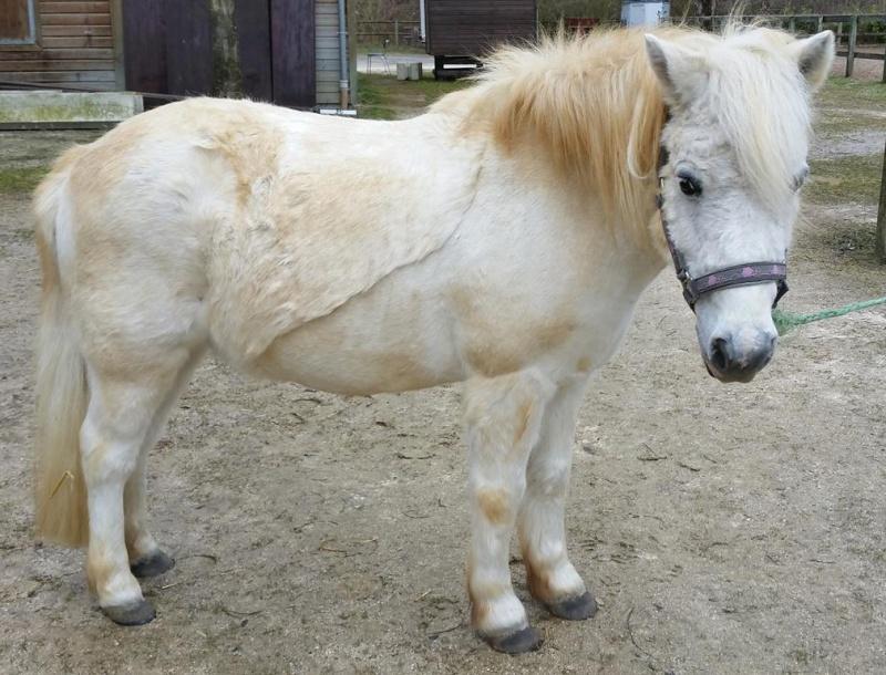 APACHE - ONC poney typé Shetland né en 1997- adopté en juillet 2015 par Claire Apache23