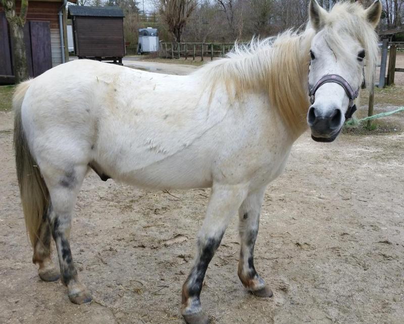 KIWI - ONC poney typé Shetland né en 1998 - adopté en juillet 2015 par Alexandra Kiwi_a10
