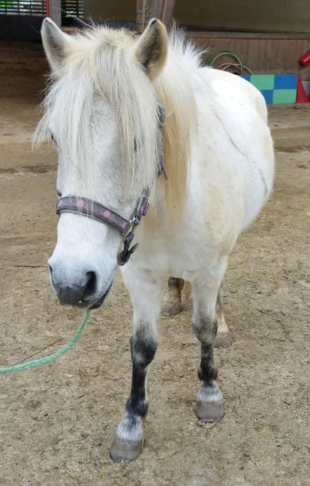 KIWI - ONC poney typé Shetland né en 1998 - adopté en juillet 2015 par Alexandra Kiwi_a11