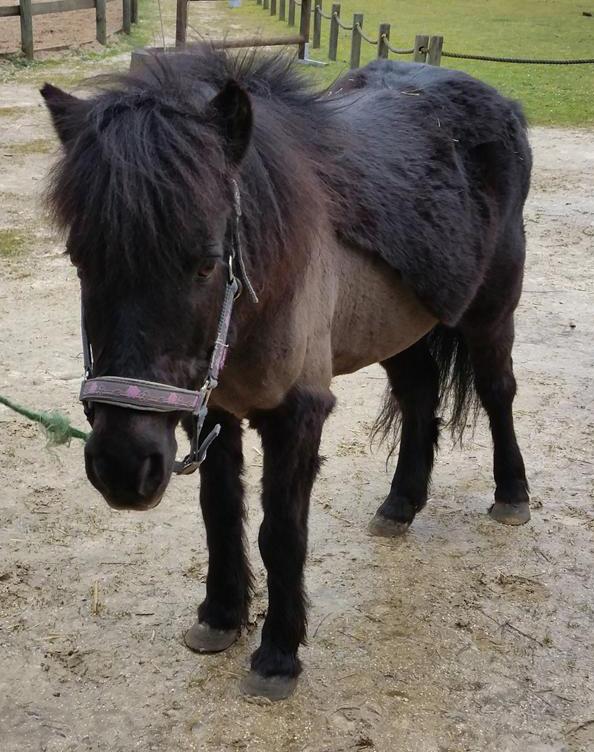 LOUSTIC - OI Poney né en 1996 - adopté en octobre 2015 par Bénédicte Lioust10