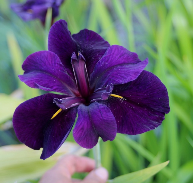 donne iris de louisiane Black_10