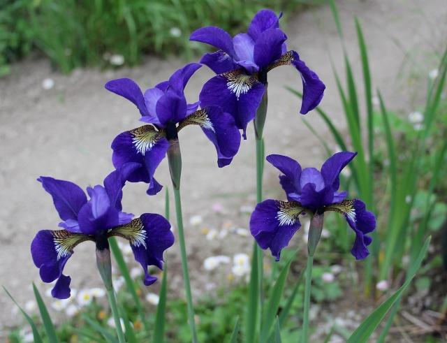 Iris 2015 - Page 2 Bleu_f10