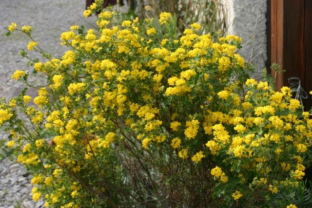 Coronilla glauca (= C. valentina subsp. glauca) - coronille glauque Coroni10