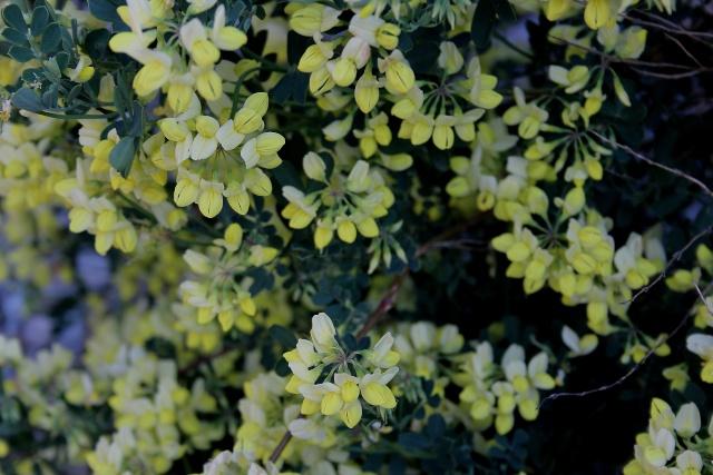 Coronilla glauca (= C. valentina subsp. glauca) - coronille glauque Coroni11