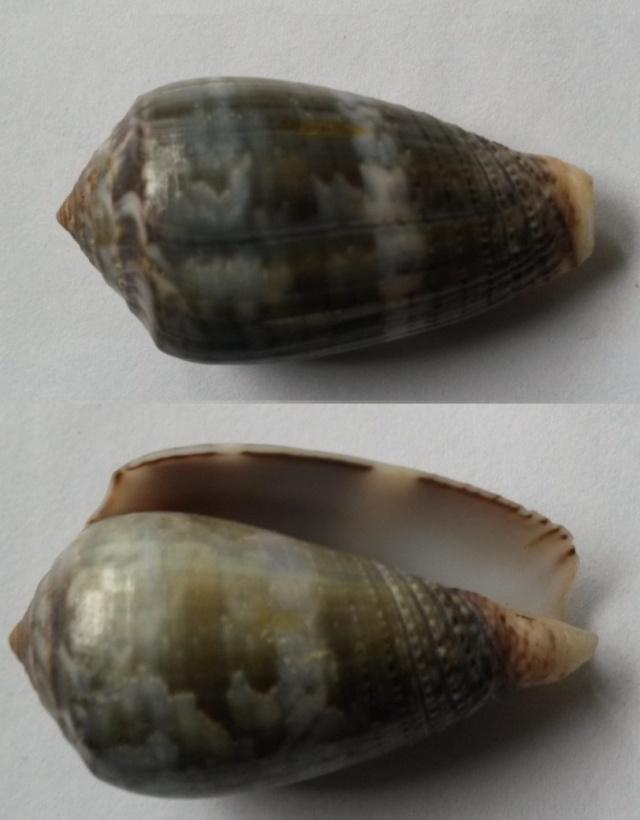 Conus (Pionoconus) monachus  (Linnaeus, 1758)  C1810