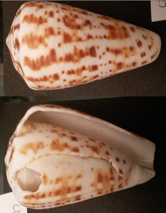 Conus (Kalloconus) pulcher  [Lightfoot], 1786 - Page 3 C2610