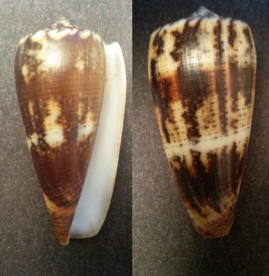 Conus (Pionoconus) magus consul  Boivin, 1864 Conus (Pionoconus) magus Sans_t11