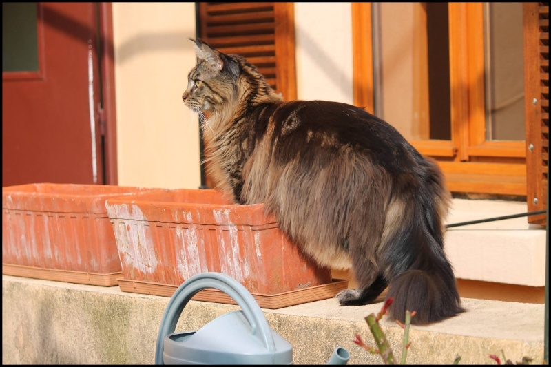 Le Maine Coon - Page 2 Image20
