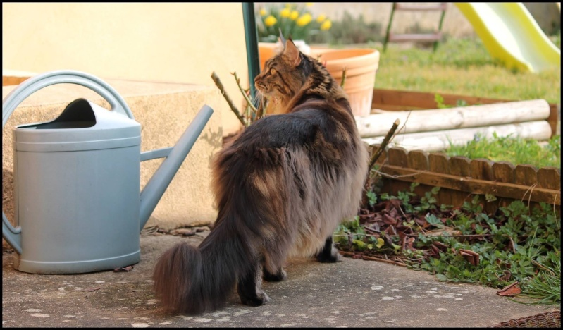 Le Maine Coon - Page 2 Image21