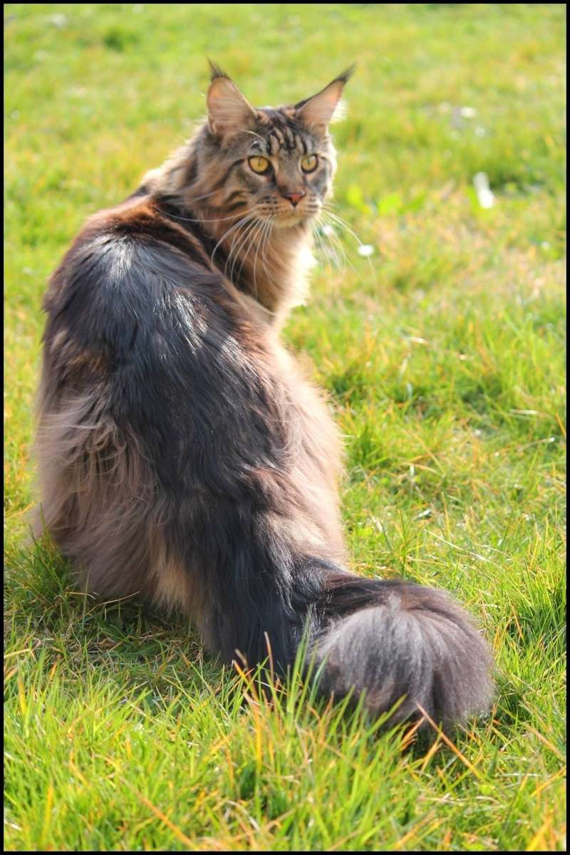Le Maine Coon - Page 2 Image22