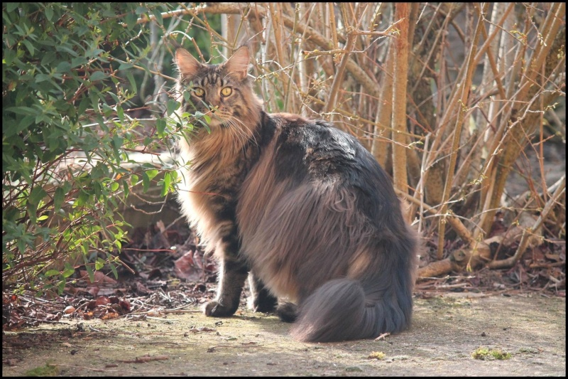 Le Maine Coon - Page 2 Image24