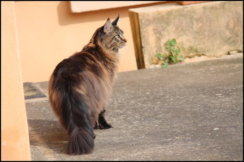 Le Maine Coon - Page 2 Image25