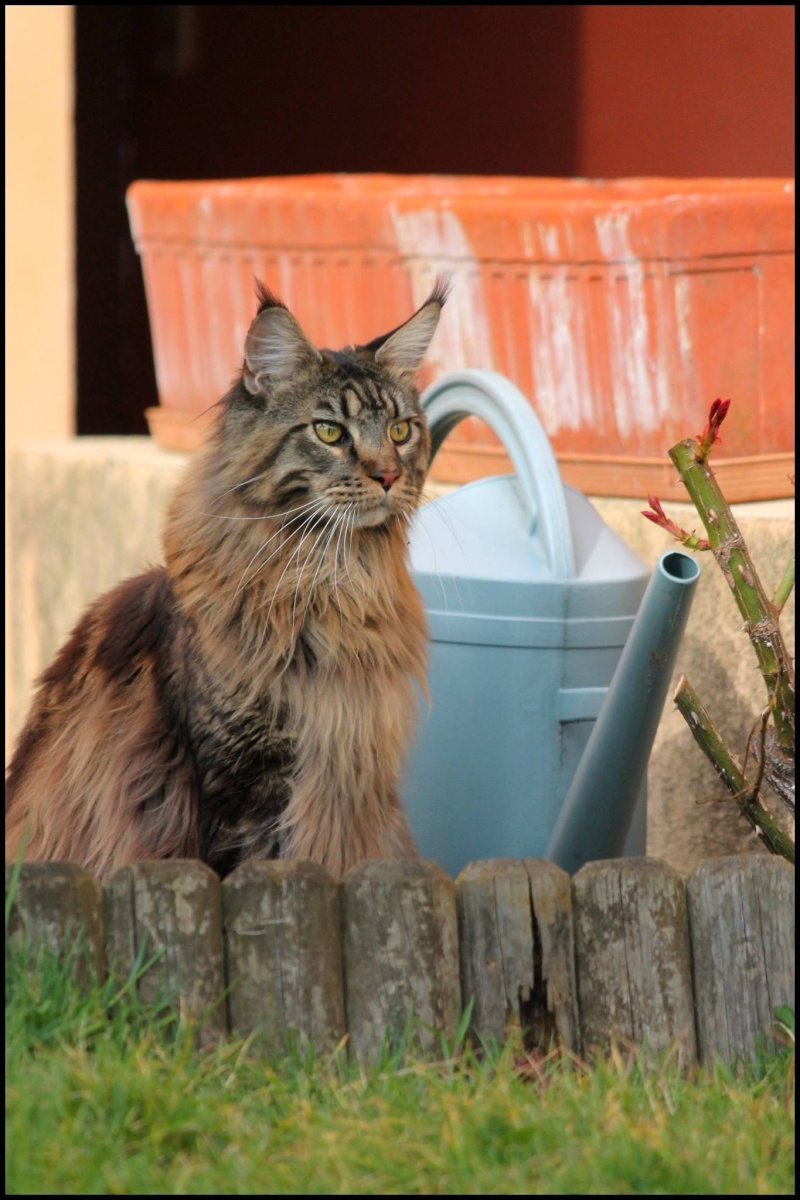 Le Maine Coon - Page 2 Image26