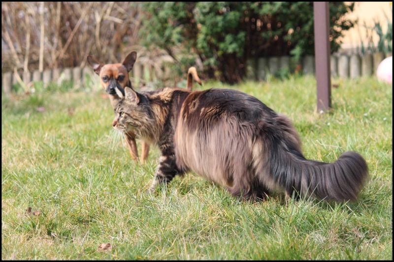 Le Maine Coon - Page 2 Image27