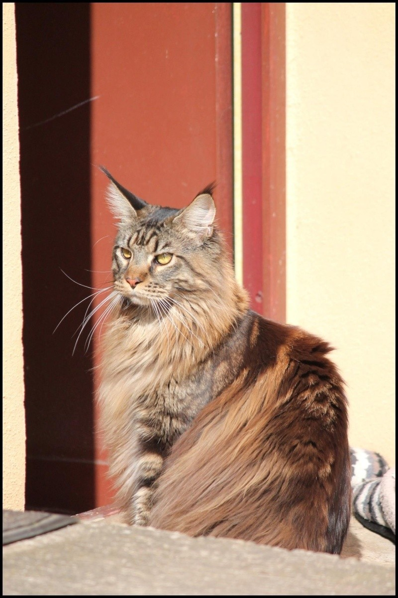 Le Maine Coon - Page 2 Image31