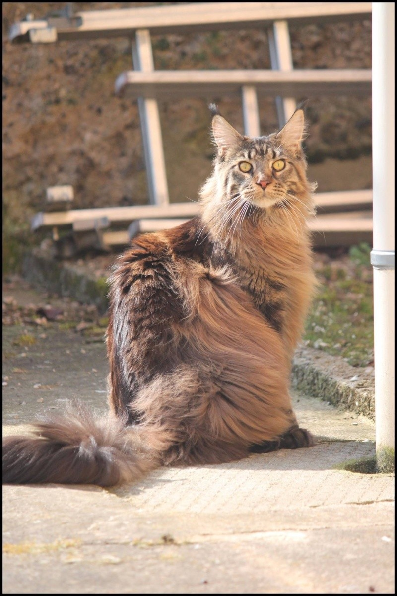 Le Maine Coon - Page 2 Image32