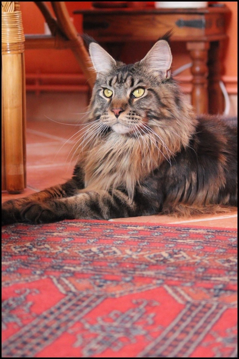 Le Maine Coon - Page 2 Image33
