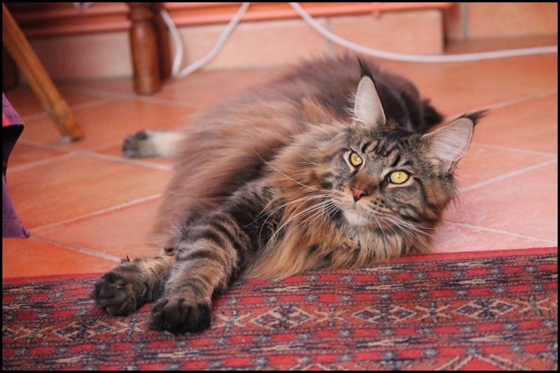 Le Maine Coon - Page 2 Image35