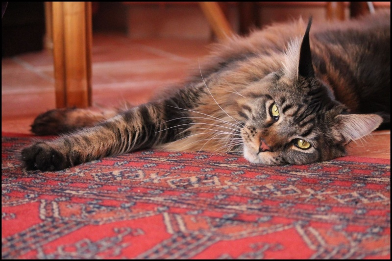 Le Maine Coon - Page 2 Image36