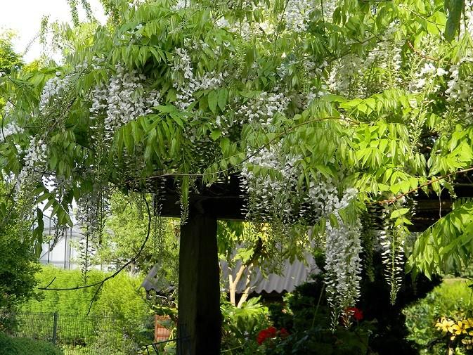 le joli mois de mai des fous jardiniers - Page 6 Gly10