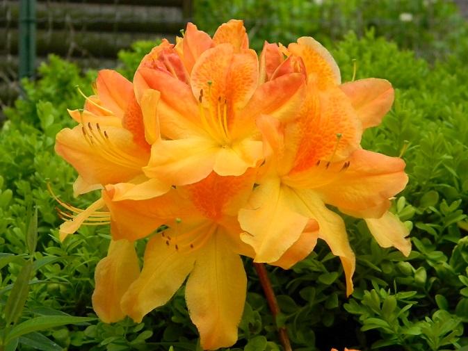le joli mois de mai des fous jardiniers - Page 3 Jaun210