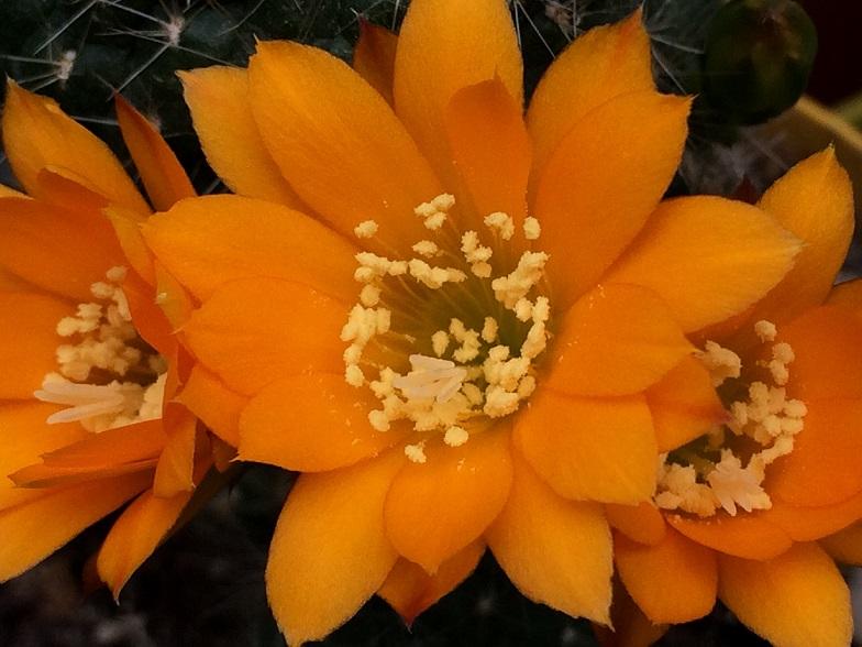 cactus - floraisons de mai 2015 Pg911