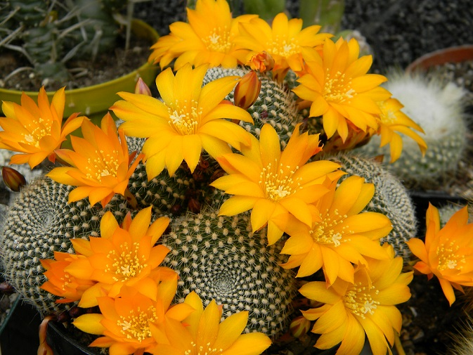 cactus - floraisons de mai 2015 Reb11