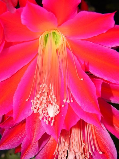 Epiphyllum - floraisons - Page 2 Rococo18