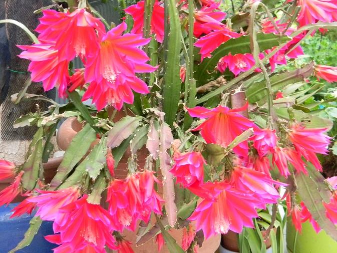 Epiphyllum - floraisons - Page 2 Rococo21