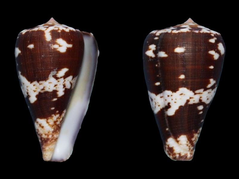 Conus (Chelyconus) ermineus inquinatus Reeve, 1849 C_ermi11