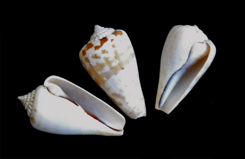 Strombus luhuanus (linne 1758) Conomu10