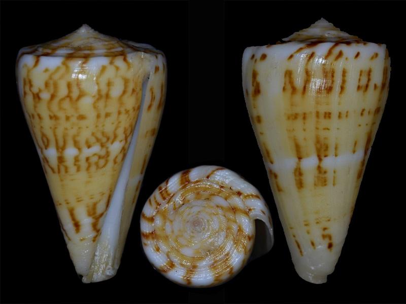 Conus (Dauciconus) norai (da Motta & Raybaudi Massilia, 1992) D_dauc11