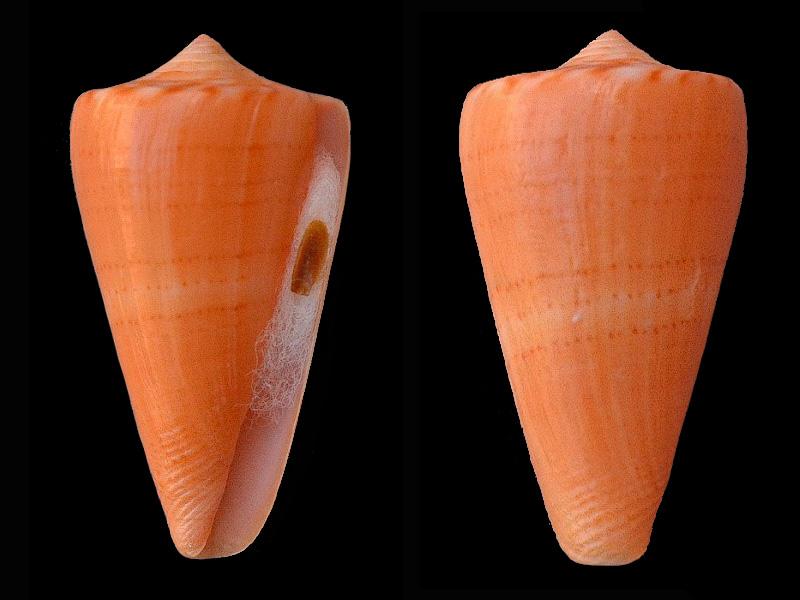 Conus (Dauciconus) vikingorum  Petuch, 1993 D_dauc13