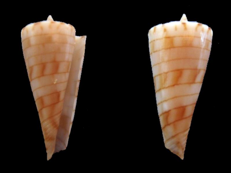 Conasprella (Boucheticonus) kimioi  (Habe, 1965) D_kimi10