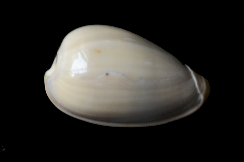 Marginellidae encore Dsc_5812