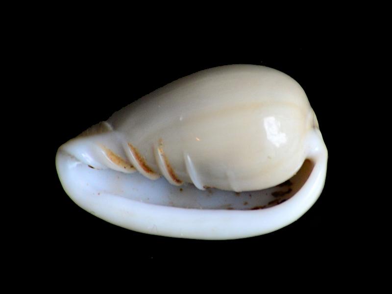 Marginellidae encore Dsc_5813