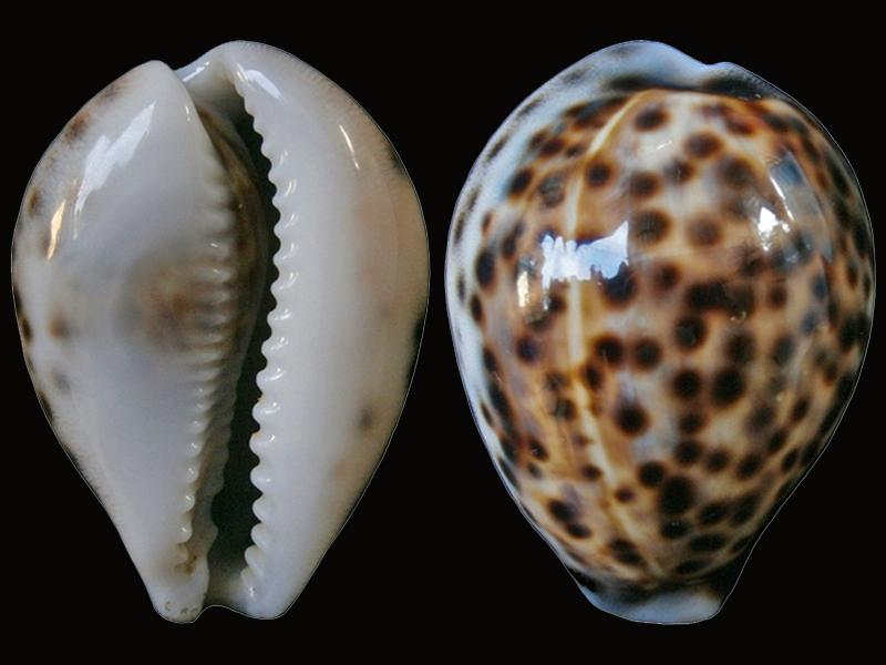 Cypraea tigris tigris - Linnaeus, 1758 - Naines Tigris10