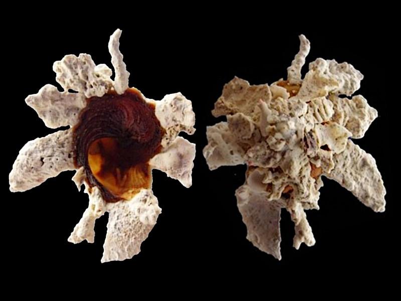 Xenophora torrida Kuroda & Ito, 1961 voir Xenophora cerea Reeve, 1845 Xenoph11