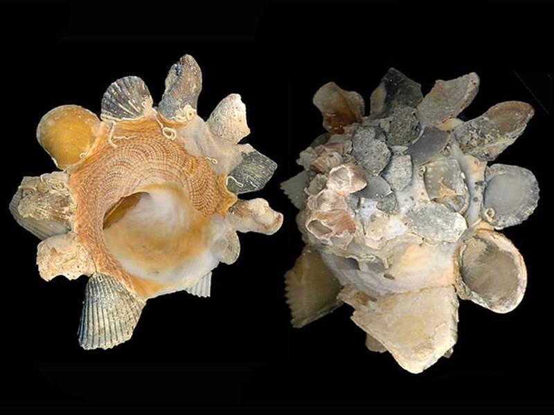 Xenophora tulearensis Stewart & Kosuge, 1993 voir. Xenophora (Xenophora) corrugata (Reeve, 1842) Xenoph14