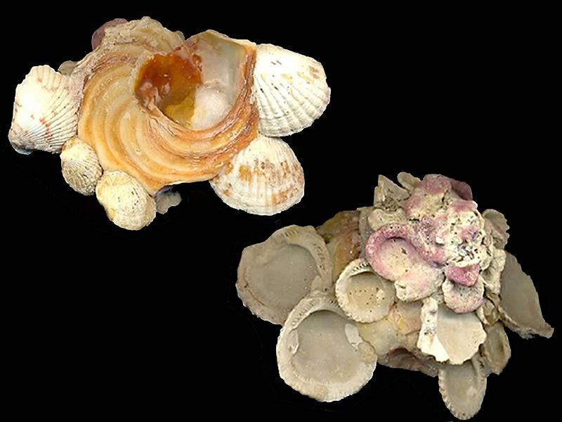 Xenophora robusta - Verrill, 1870 voir Xenophora conchyliophora - (Born, 1780) Xenoph22
