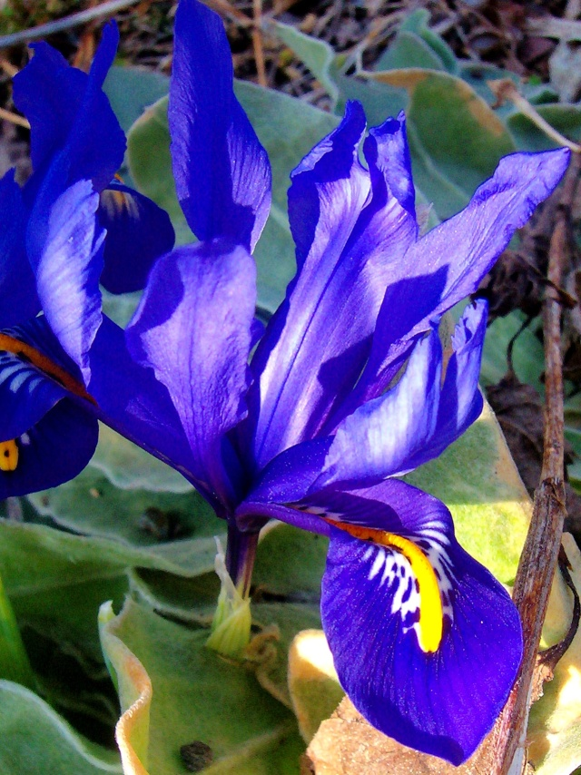 Schwertliliengewächse: Iris, Tigrida, Ixia, Sparaxis, Crocus, Freesia, Montbretie u.v.m. - Seite 5 Iris_r10