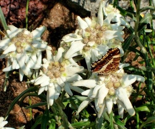 Edelweiss (Leontopodium) Leonto10