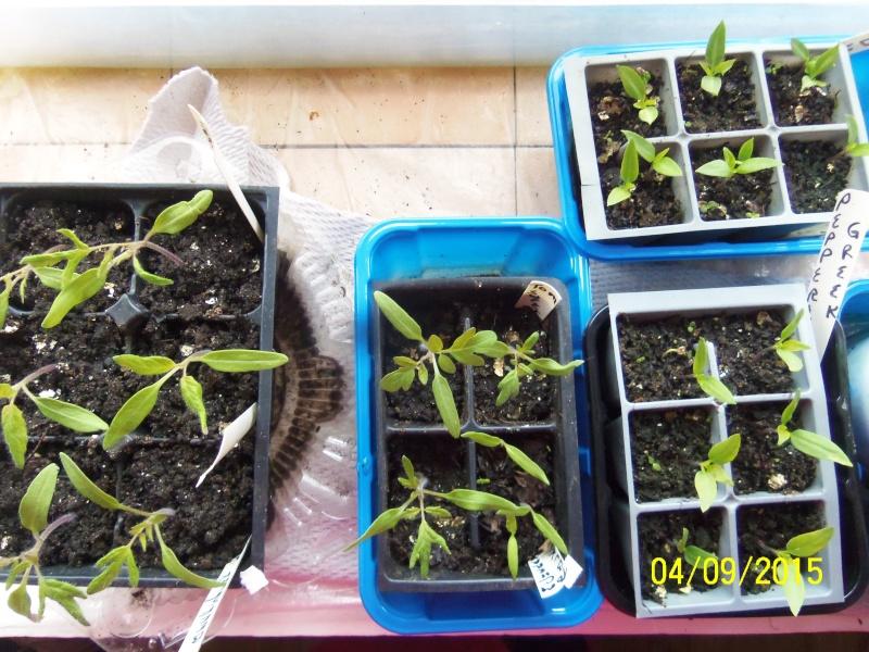 Tomato Tuesday 2015 April_10