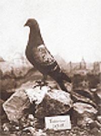Les pigeons au combat . Vailla10