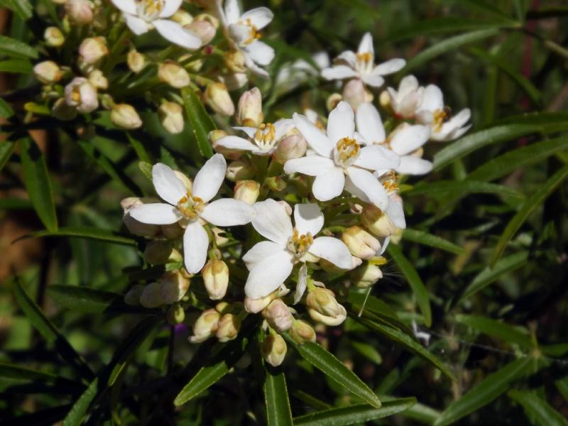 Choisya dumosa var. arizonica cv 'Aztec Pearl' Choisy12