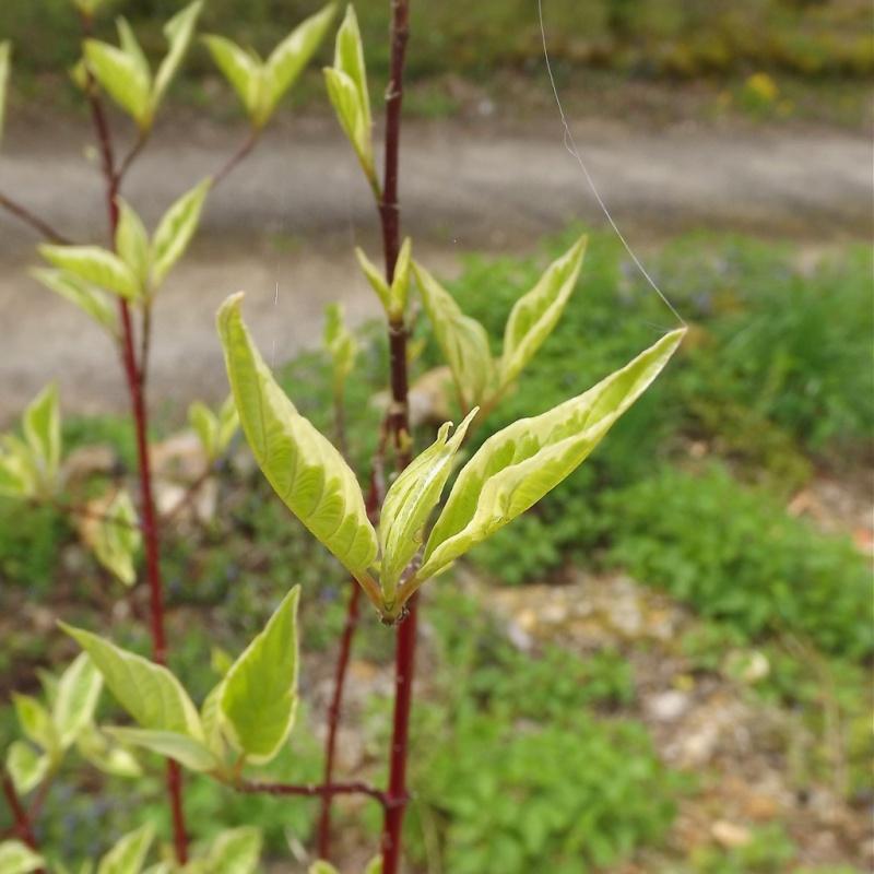 Cornus alba - cornouiller blanc Cornus10